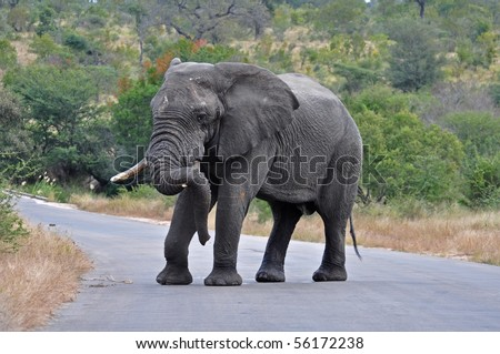 An African Elephant Bull in an aggressive mood, crossing a road in the Kruger Park, South Africa. - stock photo