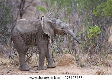 An African Elephant calf - stock photo