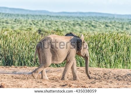 An African Elephant calf, Loxodonta africana, walking in sunlight - stock photo