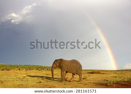 An African elephant crosses an open field with a rainbow and some wildebeest antelope in the background. South Africa - stock photo