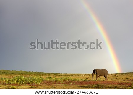 An African elephant crosses an open field with a rainbow in the background. South Africa - stock photo