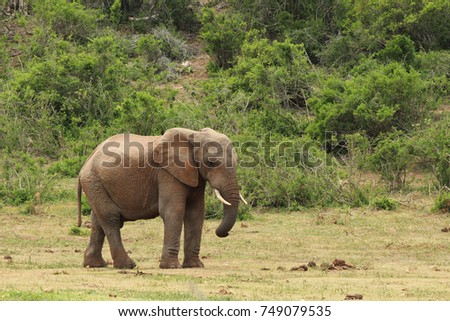 An African elephant in the Addo Elephant National Park near Port Elizabeth, South Africa.