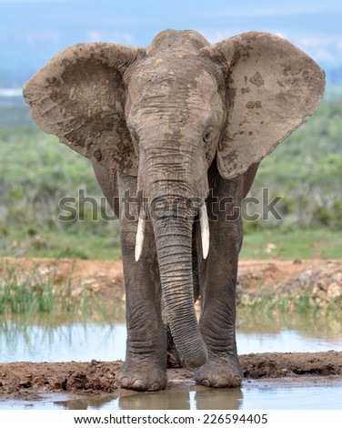An African Elephant in the Addo Elephant National Park, South Africa. - stock photo