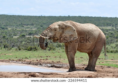 An African Elephant in the Addo Elephant  Park, South Africa. - stock photo
