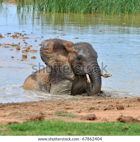 An African Elephant in the Kruger Park, South Africa. - stock photo