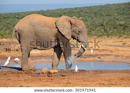 An African elephant (Loxodonta africana) at a waterhole, Addo Elephant National Park, South Africa - stock photo