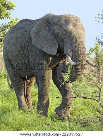 An African Elephant (Loxodonta africana) in the Kruger National Park, South Africa. - stock photo