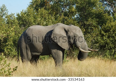 An African Elephant (Loxodonta africana) in the Kruger Park, South Africa. - stock photo