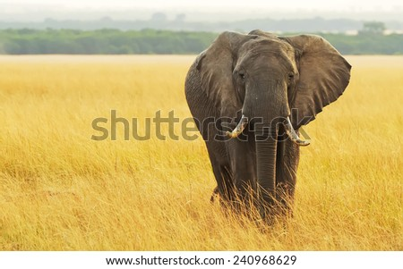 An African Elephant (Loxodonta africana) on the Masai Mara National Reserve safari in southwestern Kenya. - stock photo