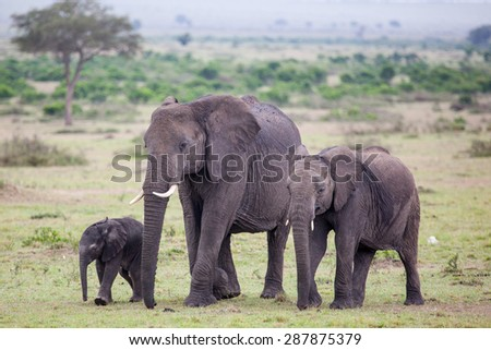 An African Elephant (loxodonta) walking with one baby elephant and one young elephant in Amboseli National Park, Kenya, East Africa. - stock photo