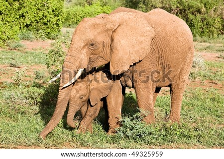 An African elephant mom walking together with her cute little baby in the bushland of the Lake Manyara National Park in Tanzania - stock photo