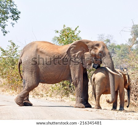 An African Elephant mother keeping her trunk protectively over her calf when she notices humans. - stock photo