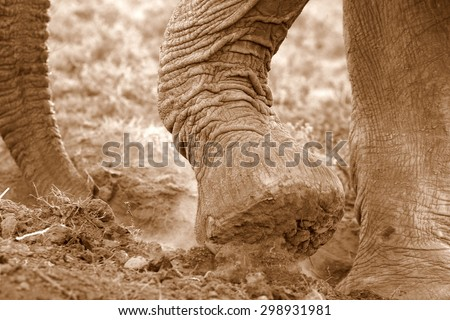 An African Elephant uses her trunk to smell water and then digs with her specialized round hard feet to get to the water. Africa  - stock photo