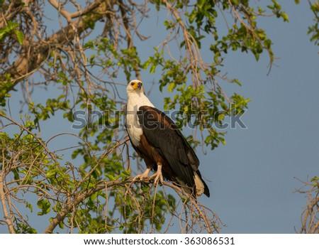 An african fish eagle (Haliaeetus vocifer) perched in a tree. Okavango Delta, Botswana, Africa. - stock photo