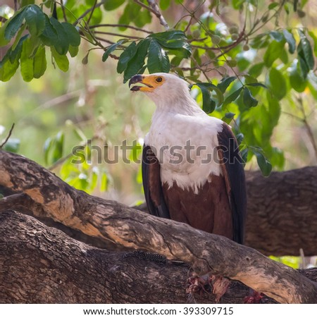 An African fish eagle in a tree, South Luangwa National Park, Zambia, Africa. - stock photo