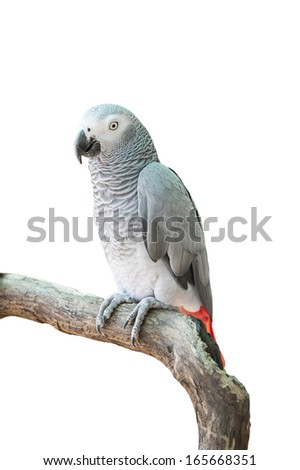 An African Grey Parrot isolated on a white background with clipping path - stock photo