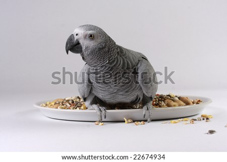 An African Grey Parrot looking straight at the camera sat on a plate of parrot seed against a white background. Latin name Psittacus erithacus. - stock photo
