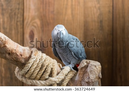 An african grey parrot on a wooden branch with a rope - stock photo