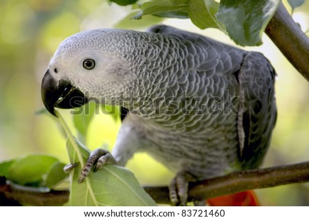 An African Grey Parrot sitting in a tree - stock photo