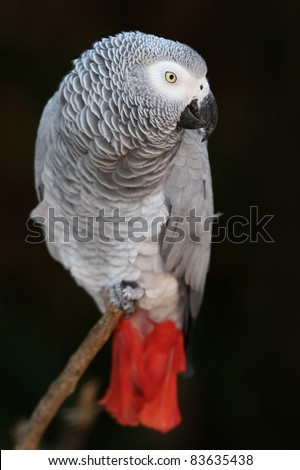An African Grey parrot with a red tale and perched on a branch - stock photo