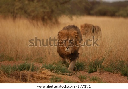 An African lion prowling in the grass, Namibia, Africa - stock photo