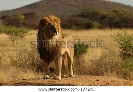 An African lion standing on a mound, Namibia Africa - stock photo