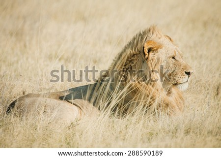 An African male lion on the savanna in Africa with warm colors