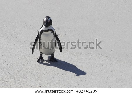 An African penguins standing frontal to the camera at Boulders Beach penguin colony in South Africa