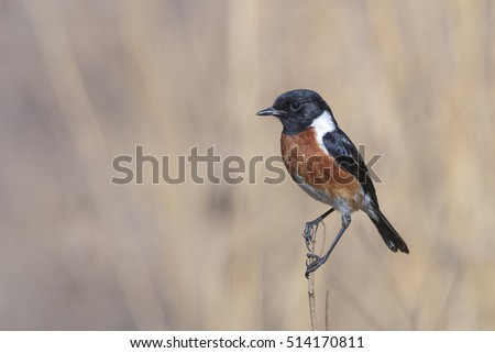 An African stonechat perched on dry grass stalk with light brown background