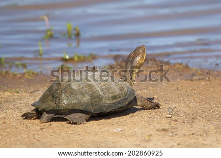 An African Water Tortoise Sunbathing on the Dry Ground Next to the Water in its Natural Habitat in the Kruger National Park of South Africa