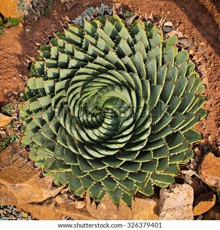 An agave seen from above. - stock photo