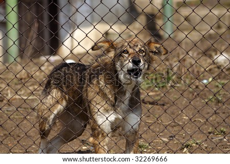 An aggressive dog behind a fence