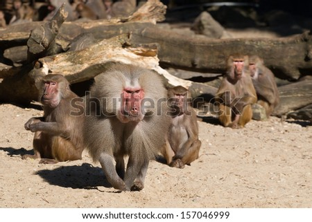 An aggressive male hamadryas baboon is defending its group - stock photo