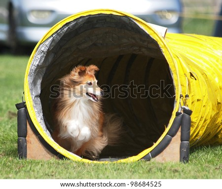 An Agility Sheltie coming out of a yellow tunnel - stock photo