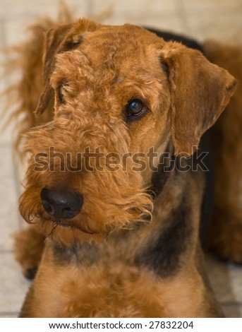 An airedale terrier dog laying down inside on the kitchen - stock photo
