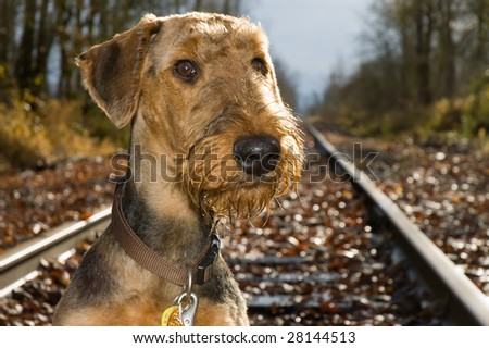 An airedale terrier dog posing on an abandoned railroad tracks