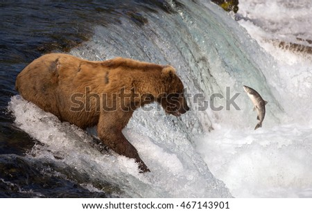 An Alaskan brown bear catches a sockeye salmon at Brooks Falls in Katmai National Park, Alaska