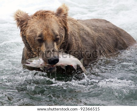 An Alaskan brown bear fishing for salmon at Brooks Falls in Katmai National Park - stock photo