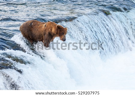 An Alaskan brown bear (Ursus arctos) trying to catch salmon on Brook falls, Katmai National Park, AK