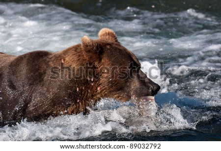 An Alaskan brown bear with a salmon in its mouth at Brooks Falls in Katmai National Park