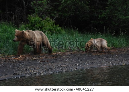 an alaskan grizzly mother and cub walking the shoreline - stock photo