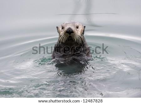 An Alaskan sea otter posing for the camera - stock photo