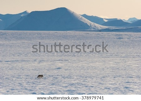 An Alaskan tundra wolf trots across the barren tundra toward the Philip Smith Mountains in the Arctic National Wildlife Refuge - stock photo