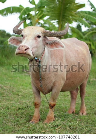 An albino water buffalo that was tied rope