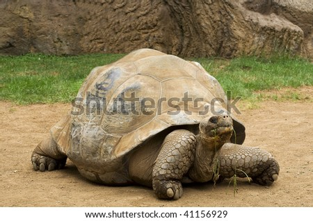 An Aldabra giant tortoise chewing grass - stock photo