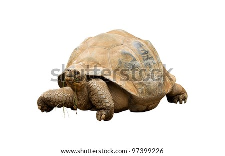 An Aldabra Giant Tortoise (Geochelone gigantea) chewing grass - stock photo