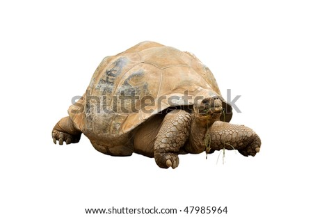 An Aldabra Giant Tortoise (Geochelone gigantea) chewing grass isolated on white - stock photo