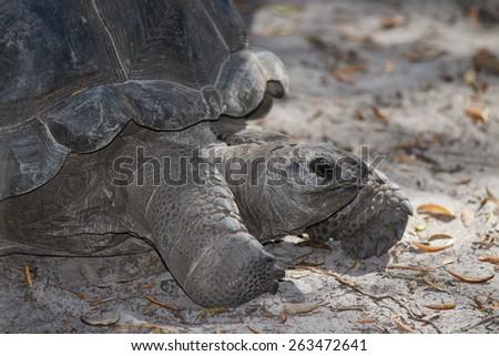 An Aldbra Tortoise (Geochelone Gigantea) - stock photo