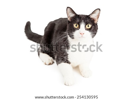 An alert black and white domestic short hair cat laying and looking straight at the camera