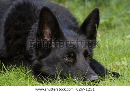 An alert black German Shepherd dog laid on some grass with his eyes pricked up listening intently. - stock photo